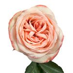 Kahala Peach Rose Stem