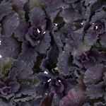 Spray Kale Flower Purple and Green