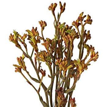 Kangaroo Paw Bulk Orange Flowers