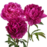 Kansas Hot Pink Peonies