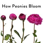 how Peonies bloom grahic