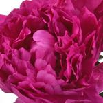 Hot Pink Peony Flower Bloom