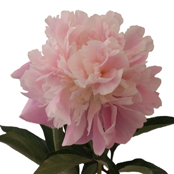 Katherina Peonies for May