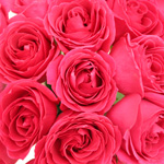 Hot Pink Rose Kiko