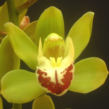 Mini Cymbidium Orchids Lovey Green