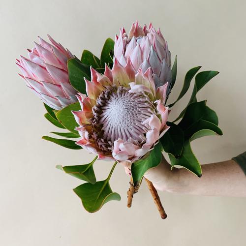 King Protea Wholesale Flowers