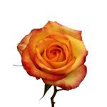 Bicolor Rose Konfetti