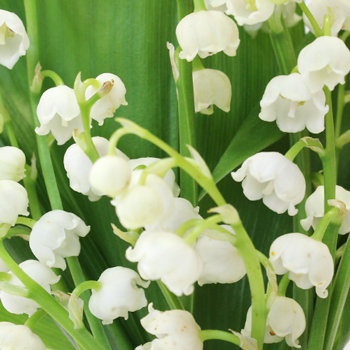 Lily Of The Valley Flower Fiftyflowers Com