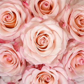 Party Pink Wholesale Roses