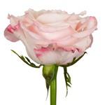 Light Pink Rose Charming Unique