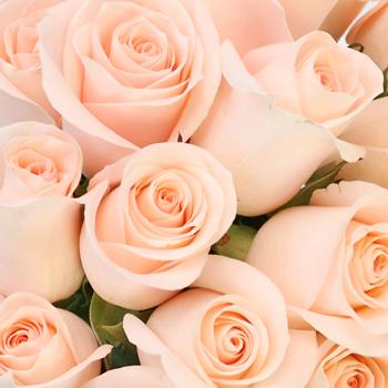 Lady Jane Sweetheart Roses