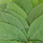 Sword Fern - Buy Bulk FREE SHIPPING!