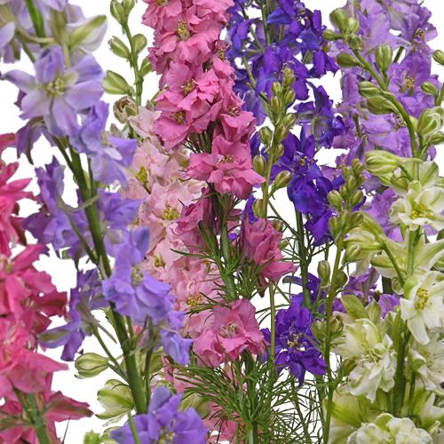 Larkspur FlowerWholesale