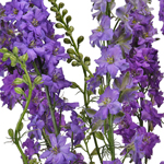 Lavender Larkspur Fresh Cut Flower