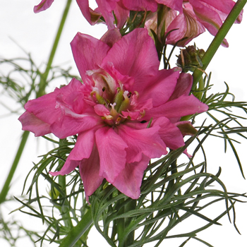 Larkspur Hot Pink Flower