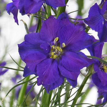 Larkspur Violet Flower