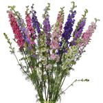 Wholesale Larkspur Flower assorted colors