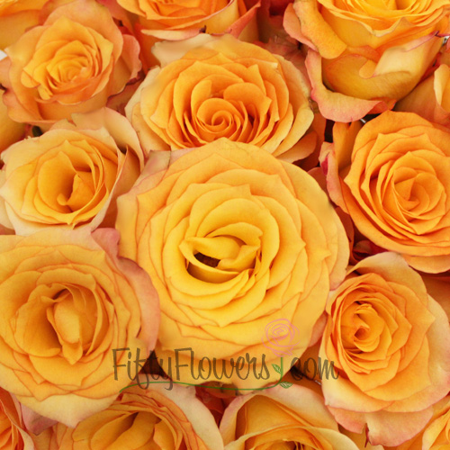 Latin Beauty Sunset Rose