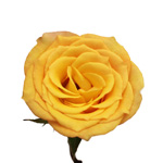 Wholesale Rose Bicolor Yellow and Orange Latin Beauty