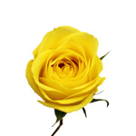 Yellow Rose Latina