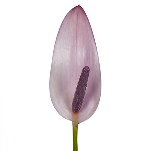 Lavender Lady Designer Anthurium Flower