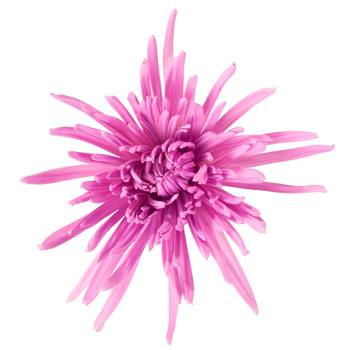 Baby Lavender Airbrushed Spider Mum