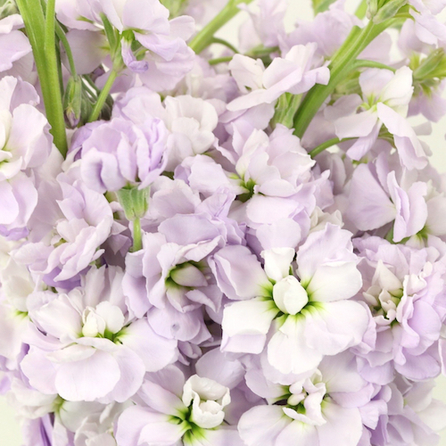 Stock Lavender Blush Flower