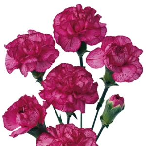 Bicolor Pink Mini Carnation Flowers