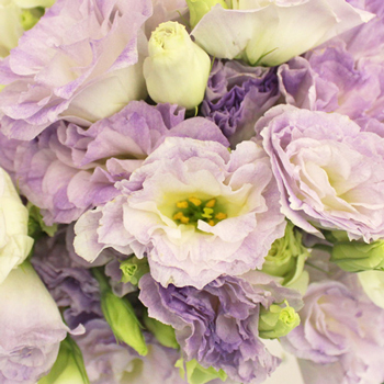 Lavender Mist Designer Lisianthus Flower for June to September Delivery