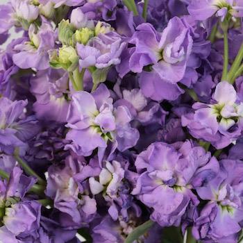 Lavender Stock Wholesale Flower Upclose