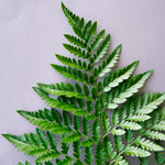 Single Stem of Leather Leaf Greenery Fern Flowers Sold Near Me