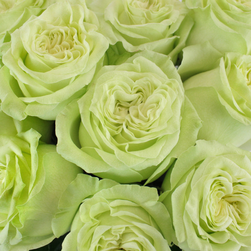 Spring Green Bulk Rose