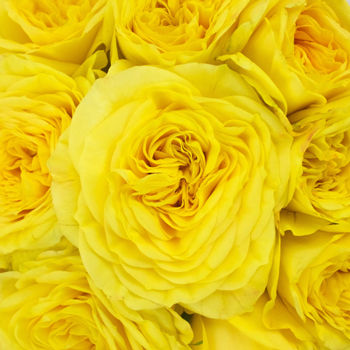 Lemon Pompom Yellow Garden Rose