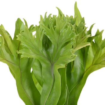 Lettuce Fern Tropical Greens