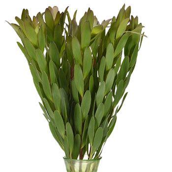 Brassy Green Leucadendron