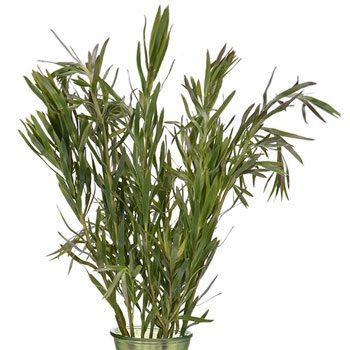Slender Gems Leucadendron