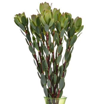 Green Gem Leucadendron