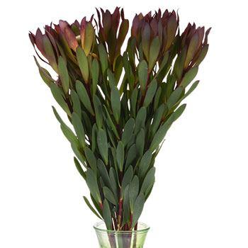 Vivid Auburn Cone Leucadendron