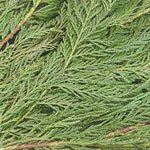 Leyland Cedar - Buy Bulk FREE SHIPPING!