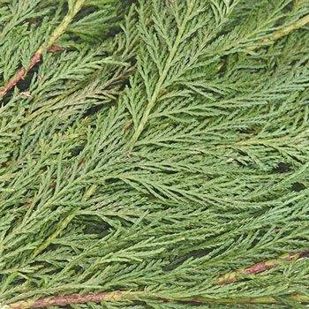 Leyland Cedar Greenery