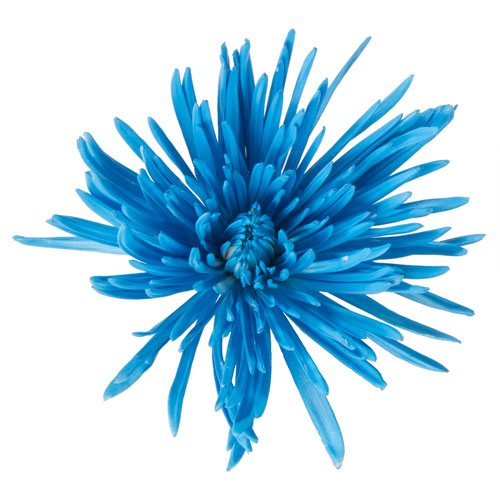 Caribbean Blue Airbrushed Spider Mum