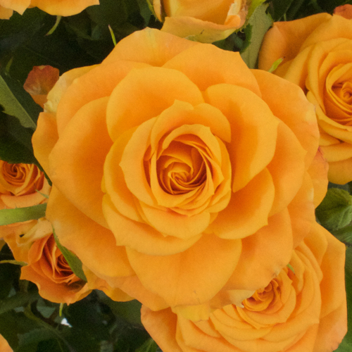 Light Golden Orange Spray Rose