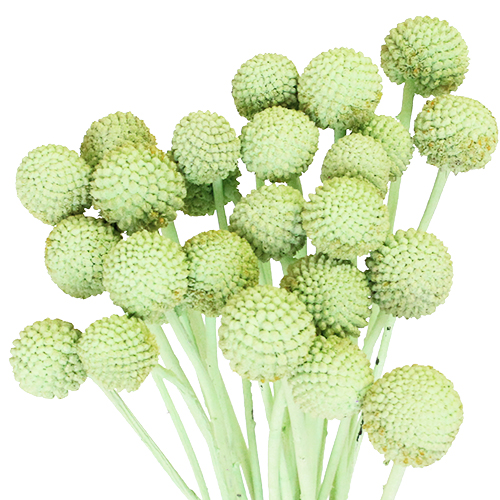 Mint Green Wholesale Craspedia Balls