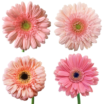 Light Pink Super Gerbera Daisy
