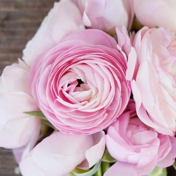Light Pink Ranunculus Fresh Cut Flower