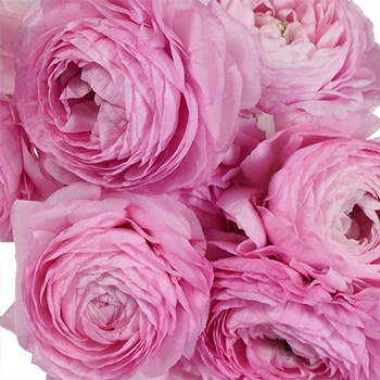 Pink Potion Fresh Cut Ranunculus