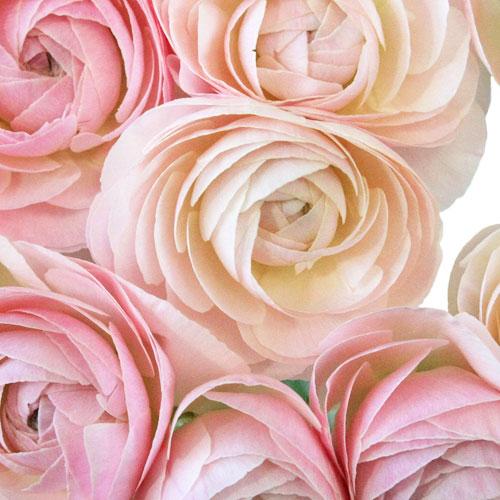 Light Pink Designer Japanese Ranunculus Flower