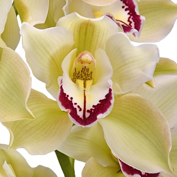 Cymbidium Orchids Light Green Dark Pink Lip