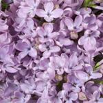 Syringa Lavender Lilac Flower