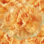 Fresh Cut Carnation Flower Light Orange